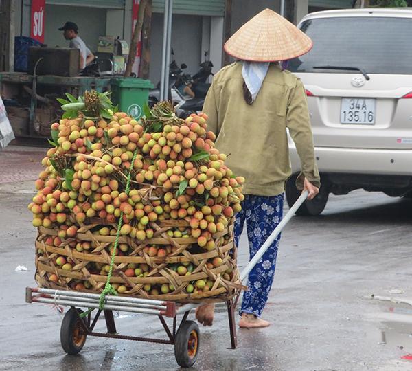 thu hoach vai som Thanh Cuong 2019 3