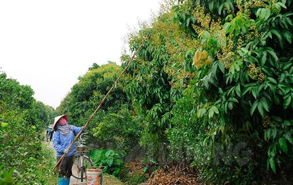 Quản lý tốt 23 vùng trồng vải xuất khẩu